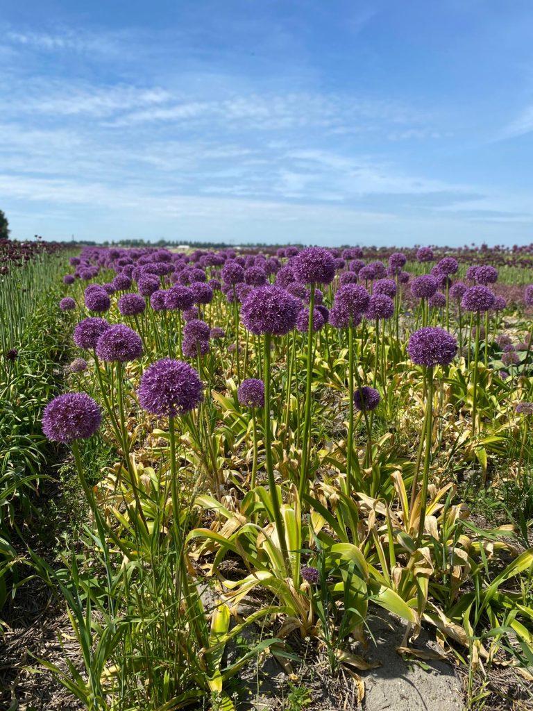 Alliums-greenport-duin-en-bollenstreek
