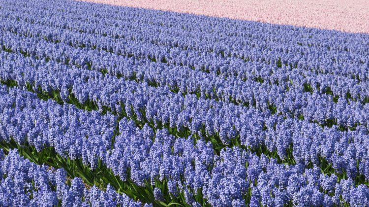 Hyacinten-greenport-duin-en-bollenstreek