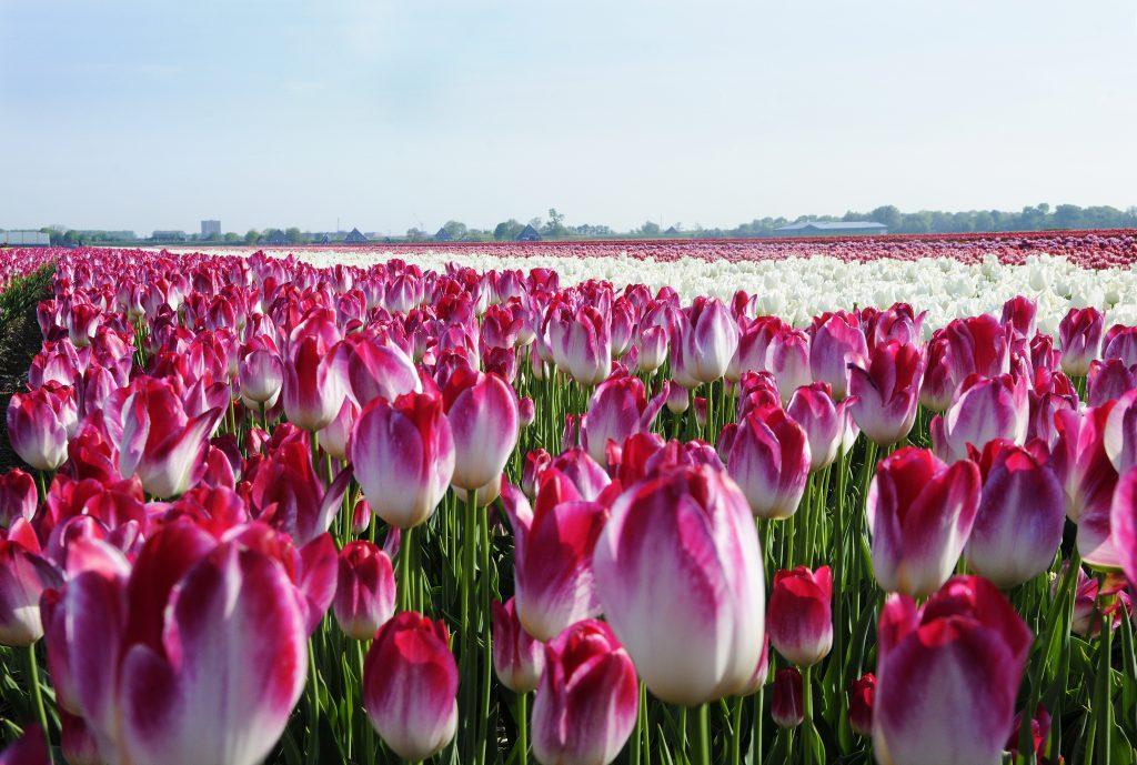 Tulpen-bollencoaster-greenport-duin-en-bollenstreek