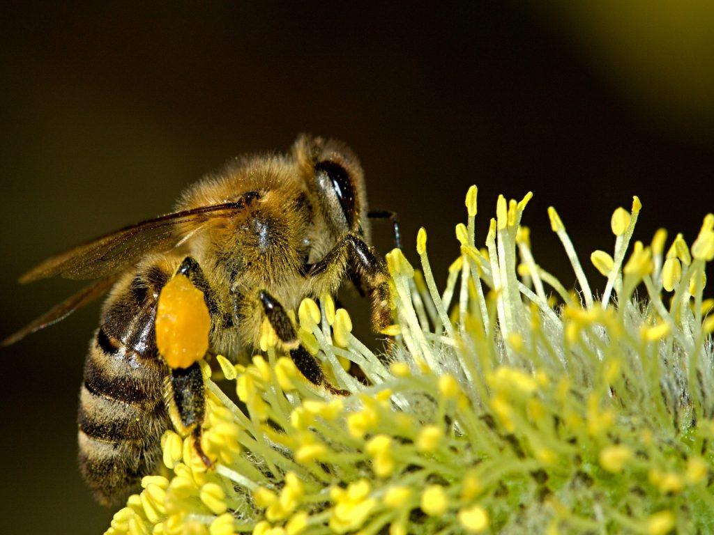 Bijen-bestuiving-greenport-duin-en-bollenstreek
