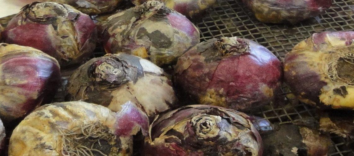 webinar-vitale-teelt-hyacint-greenport-duin-en-bollenstreek