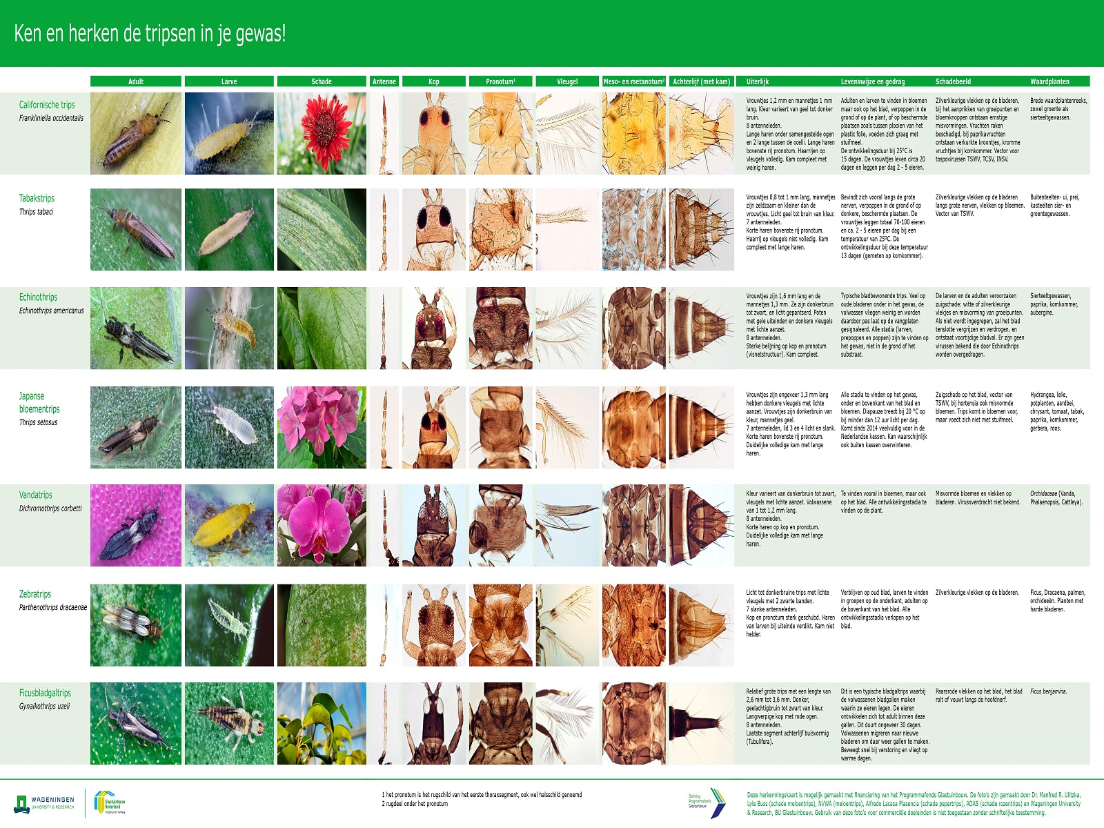 invasieve-tripssoorten-greenportdb
