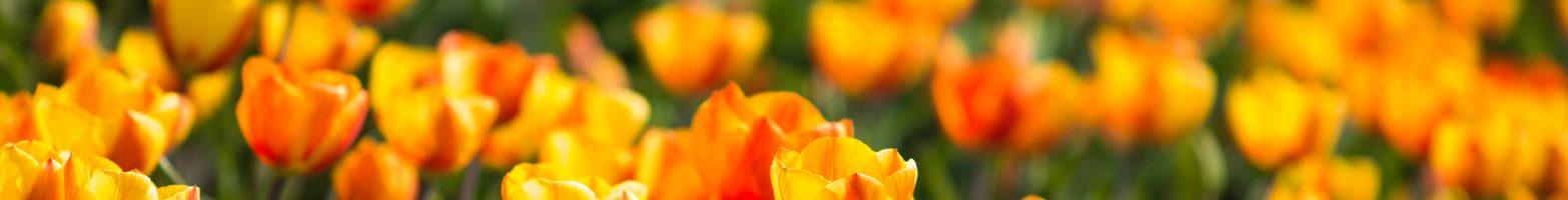 Groen - bloembollenvelden Voorhout 10052014 041