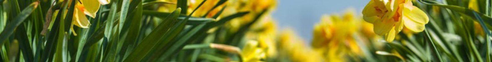 bollen-bloemen-netwerk-greenport-duin-en-bollenstreek